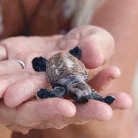 Girl-fridays baby turtle hatch